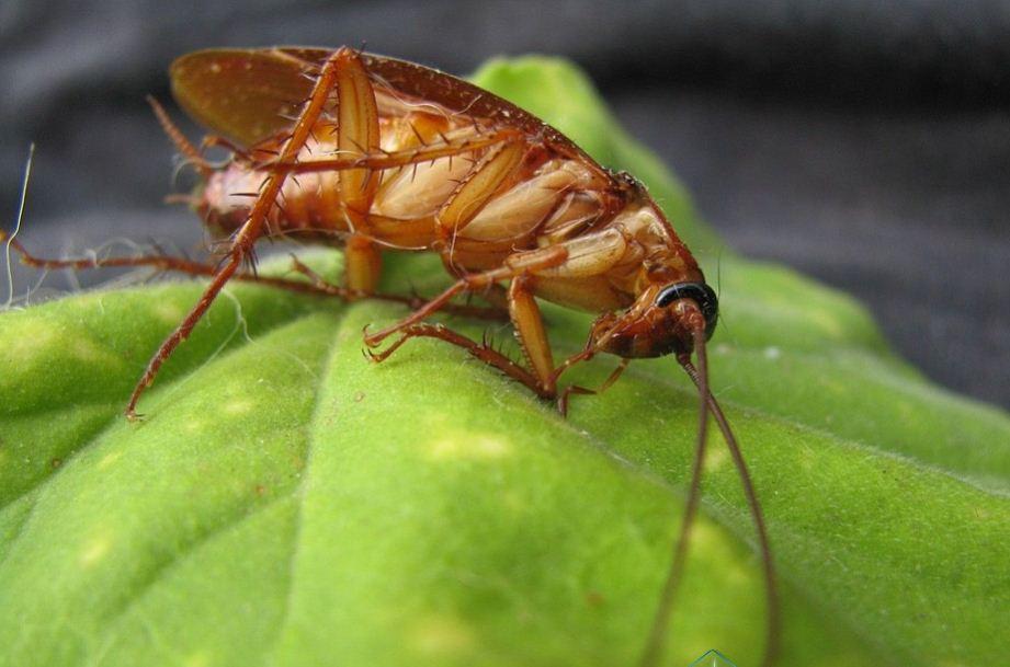 11 Cara Ampuh Mengusir Kecoa Menggunakan Bahan Alami yang Mudah Ditemukan