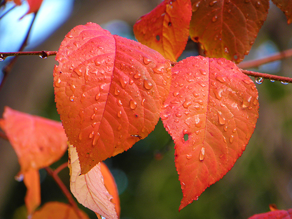 Two Orange Leaves with Raindrops on them