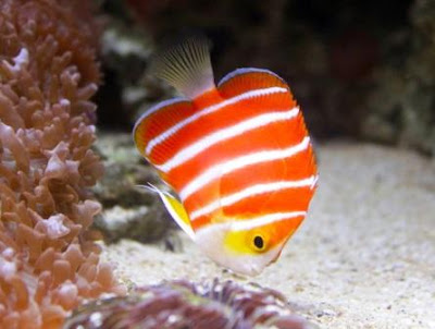 Ikan hias Peppermint Angelfish