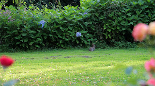 A bunny on the lawn