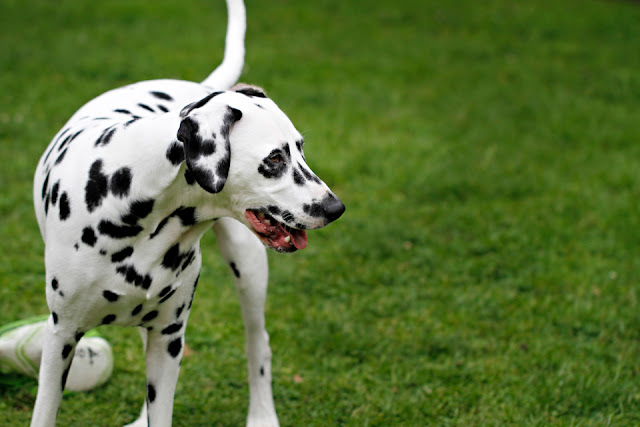Smiling Dalmatian dog playing with rugby ball on bright green lawn