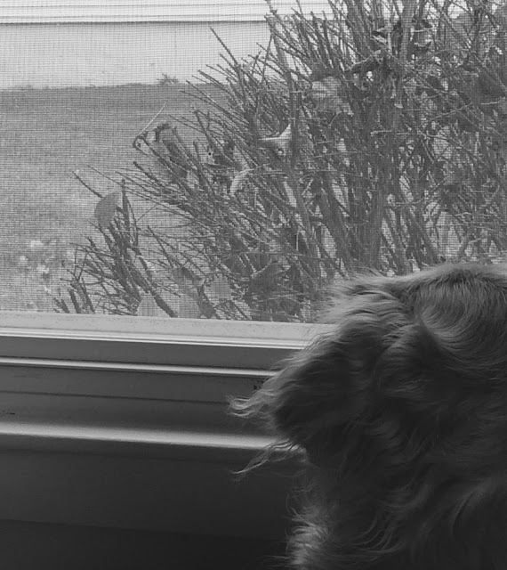 Golden Retriever dog watching bird outside window #blackandwhiteSunday