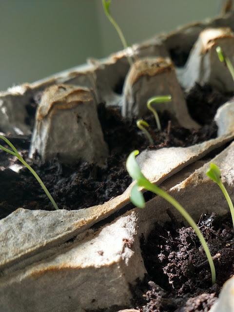cosmos seedlings