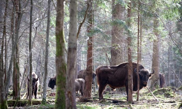 Bisontes na floresta Białowieża