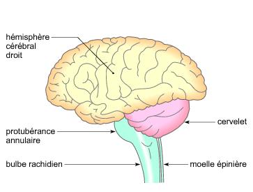anatomie système nerveux encéphale infirmier