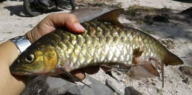Ikan Larangan