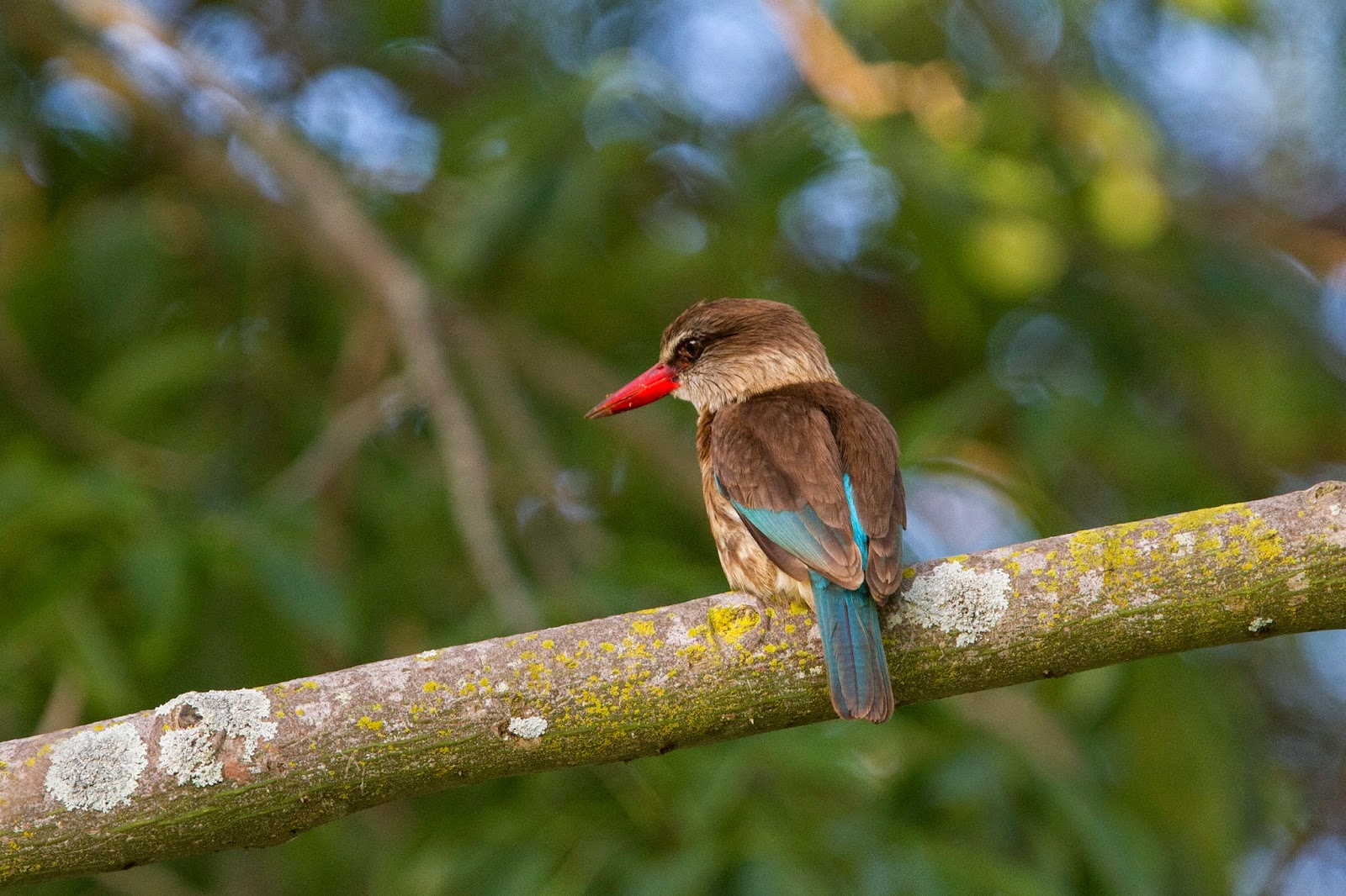 Brown hooded kingfisher - photo#41