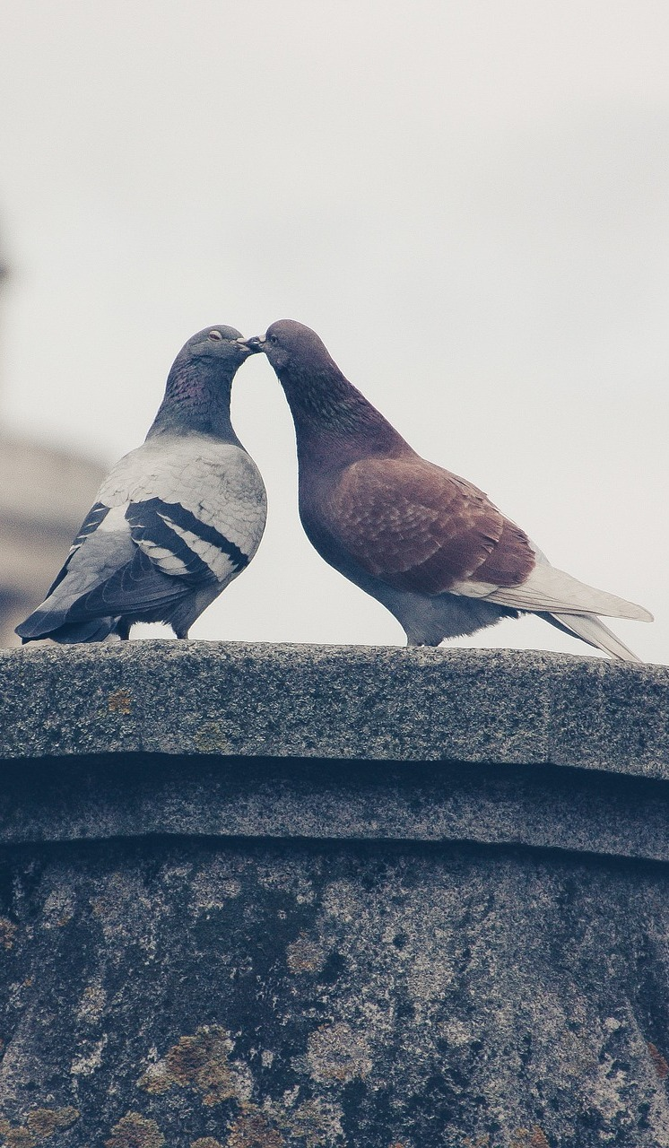 A pigeon couple.