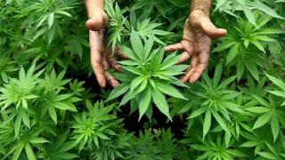 cannabis-coltivazione-libera-america
