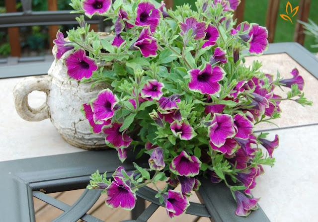 ảnh đẹp hoa dạ yến thảo 5