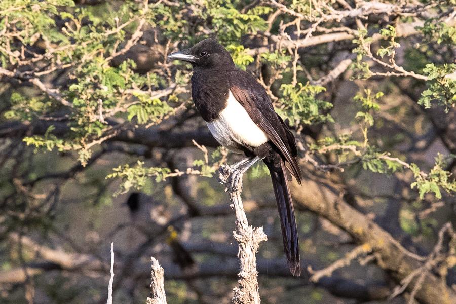 Asir (Arabian) Magpie