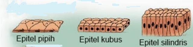 Macam-Macam Jaringan Epitel, Epitel Selapis, Epitel Berlapis