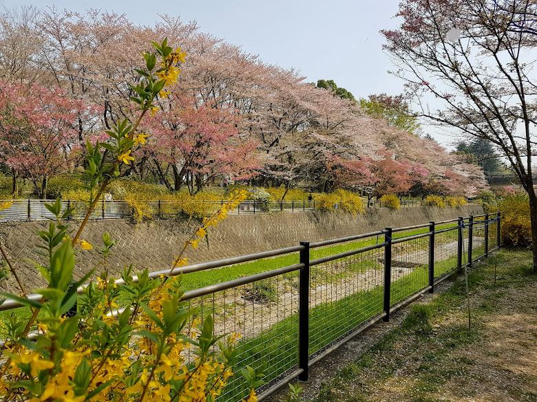 公園外環吹雪中的櫻花