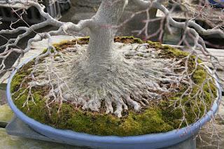 bonsai nebari techniques