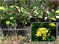 Tanaman Soka Bunga Kuning
