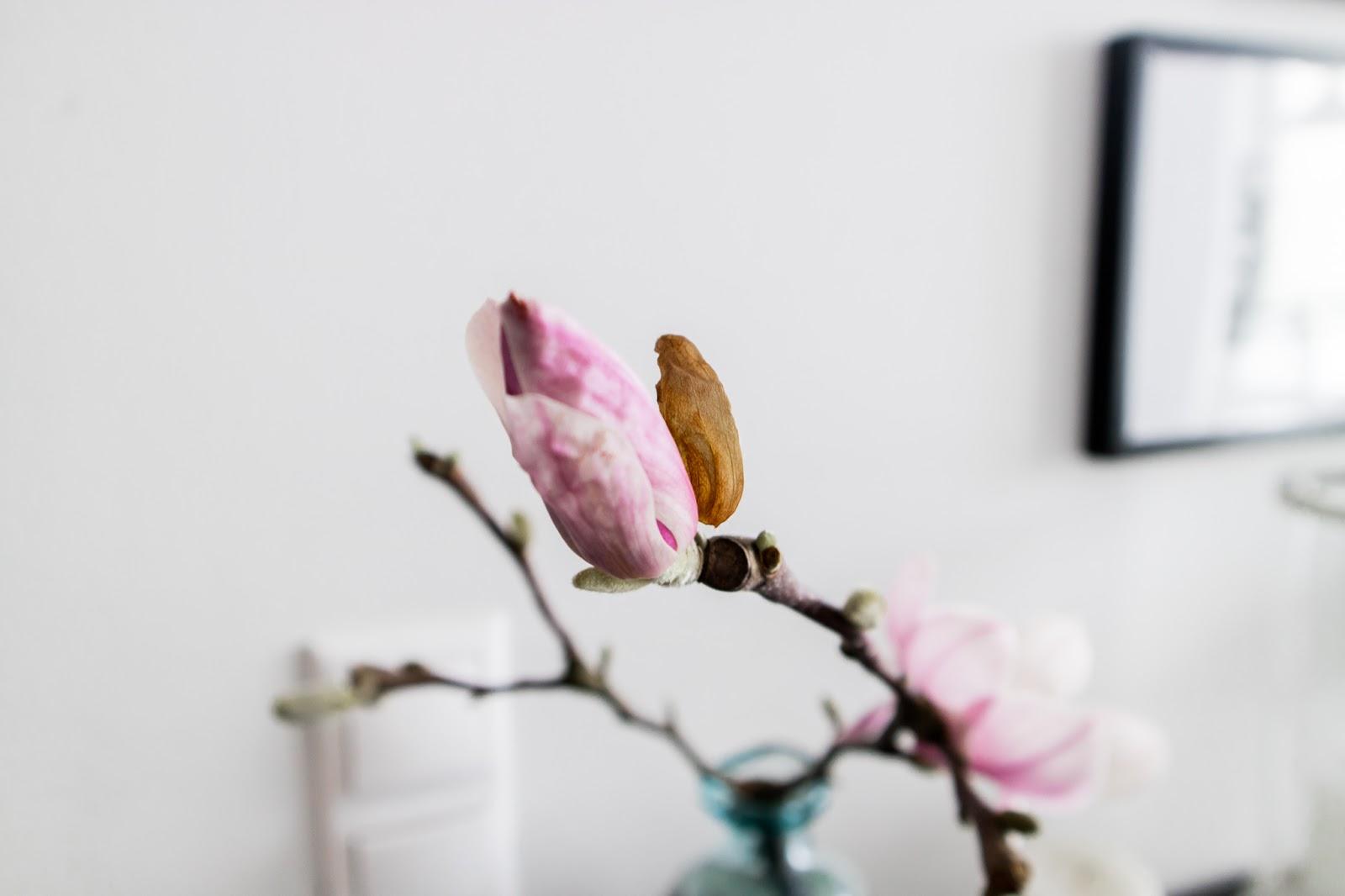 Mangolia, mangolian kukka,