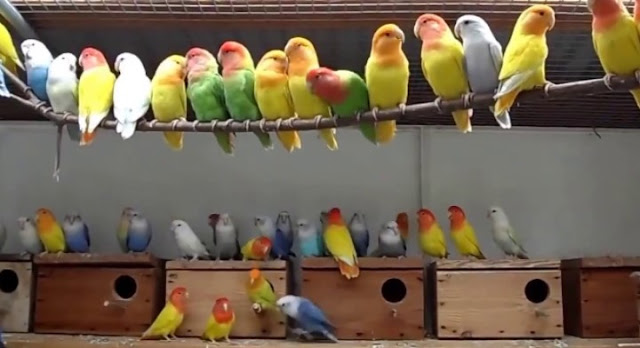 Breeding Lovebirds in a Colony Setting