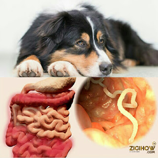 HOW TO GET RID OF TAPEWORM IN DOGS 1