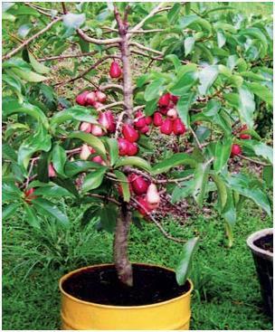Rabu  01 Agustus 2012   1komentarBibit Pohon Leci