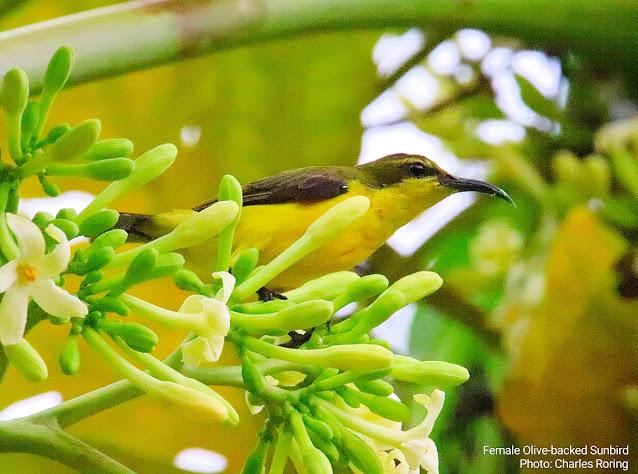 Female Sahul Sunbird in District Sonder of Minahasa