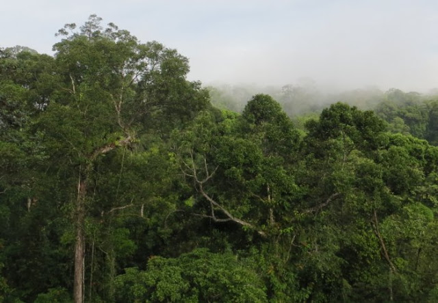 Untouched forests fight climate change, but face threats