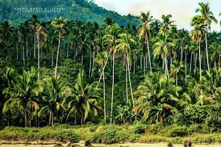 keindahan pohon kelapa indonesia