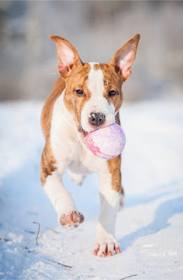 Breed Specific Legislation did not effect dog bite injuries in Odense. 13 breeds were banned, including the American Staffordshire Terrier. An AmStaff puppy is  pictured.