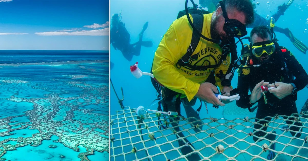 While Tourists Are Gone, Australian Scuba Tour Companies Are Planting Great Barrier Reef - The World's Largest Coral Reef System