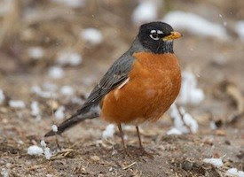 american robin, lake arrowhead, bird watching