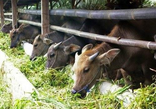 rahasia ternak hewan