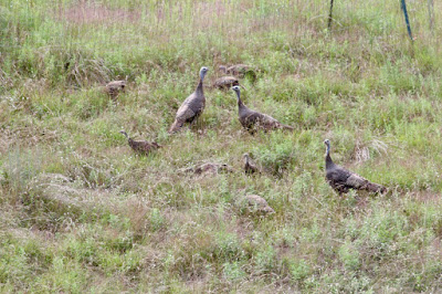 turkey hens and poults
