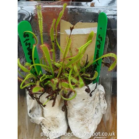 Triffid Nurseries Carnivorous Plants unboxing Drosera capensis