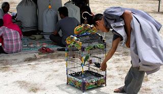 Cara Memilih Burung Cucak Hijau Asal Banyuwangi yang Unggul Apa Asal Kalimantan yang Bermental Juara