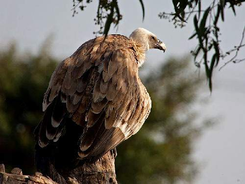 Indian birds - Image of Griffon vulture - Gyps fulvus