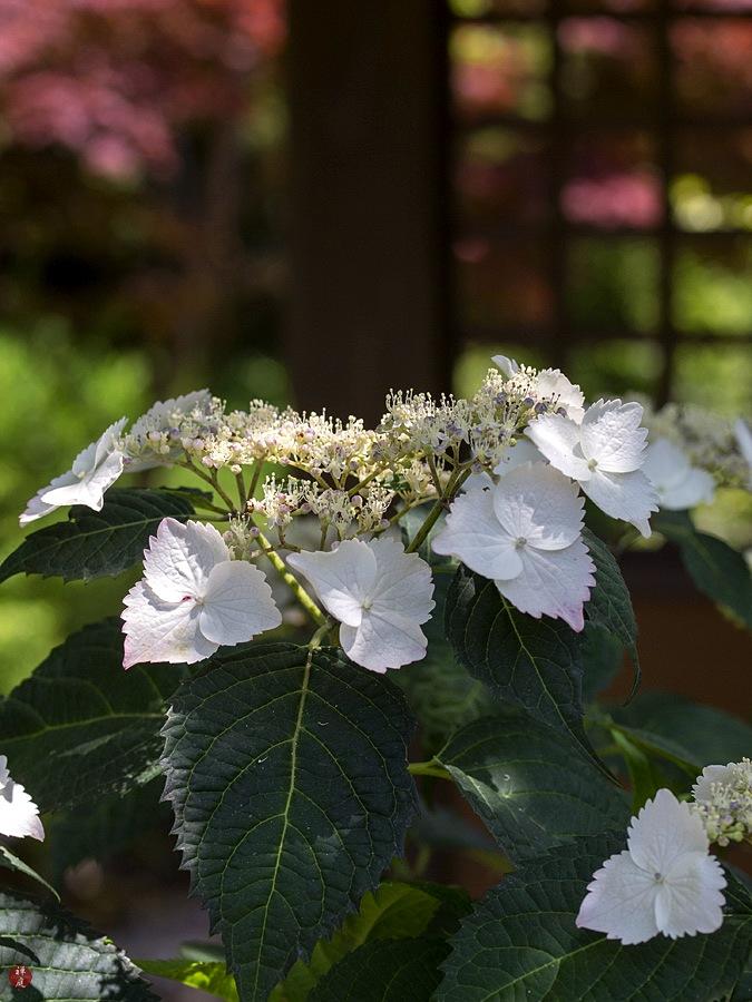 From The Garden Of Zen Gaku Ajisai Hydrangea Macrophylla F