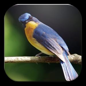 Download MP3 Suara Burung Lengkap Jelas
