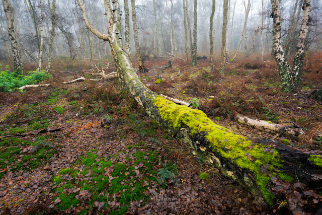 misty woodland at Holme Fen with bright green moss covered tree