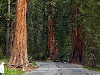facts About Giant Sequoia tree