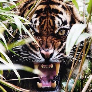 Não é apenas uma questão de atacar pessoas, isso qualquer animal pode fazer. A questão é que nos ataques de tigres, eles não apenas matam, como também devoram as vítimas humanas que estiverem ao alcance de suas garras.