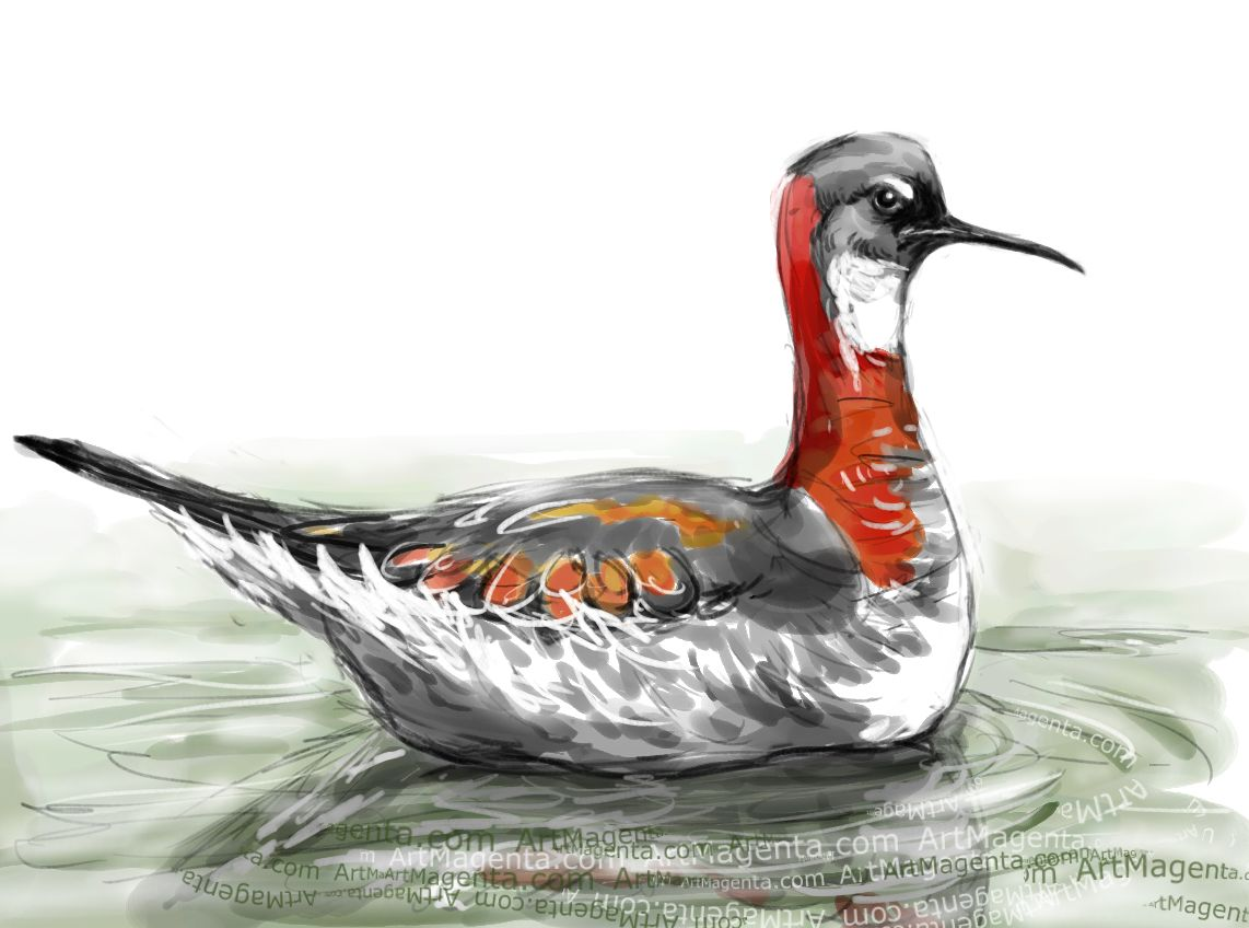 Red-necked Phalarope sketch painting. Bird art drawing by illustrator Artmagenta
