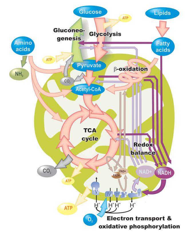Imc metabolismo basal