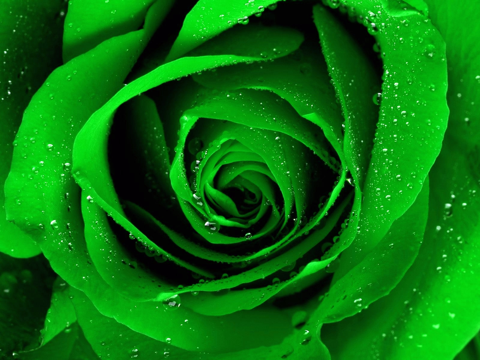 Rose Wallpaper: Green Rose HD Wallpaper Download Free