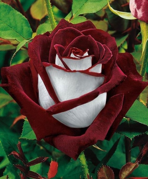Roseday beautiful