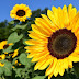 Manfaat Plastik Uv - Ingin Budidaya Bunga Matahari!! Ini Beliau Caranya