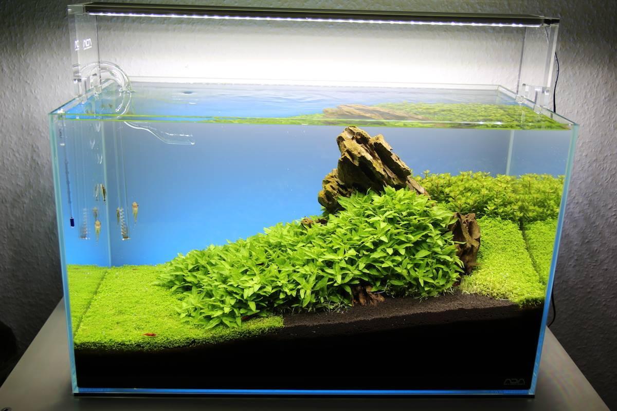 Một hồ thủy sinh đơn giản trồng cây rau thơm