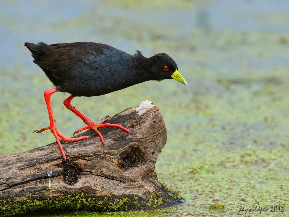 Holi Hd Wallpaper With Quotes Picture Collection African Black Crake Pics