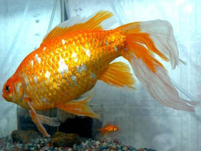 Il nostro blog spazio aperto i 10 animali piu for Quanto vive un pesce rosso
