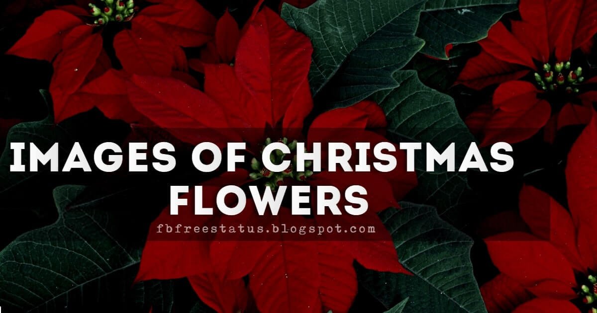 Images of Christmas Flowers