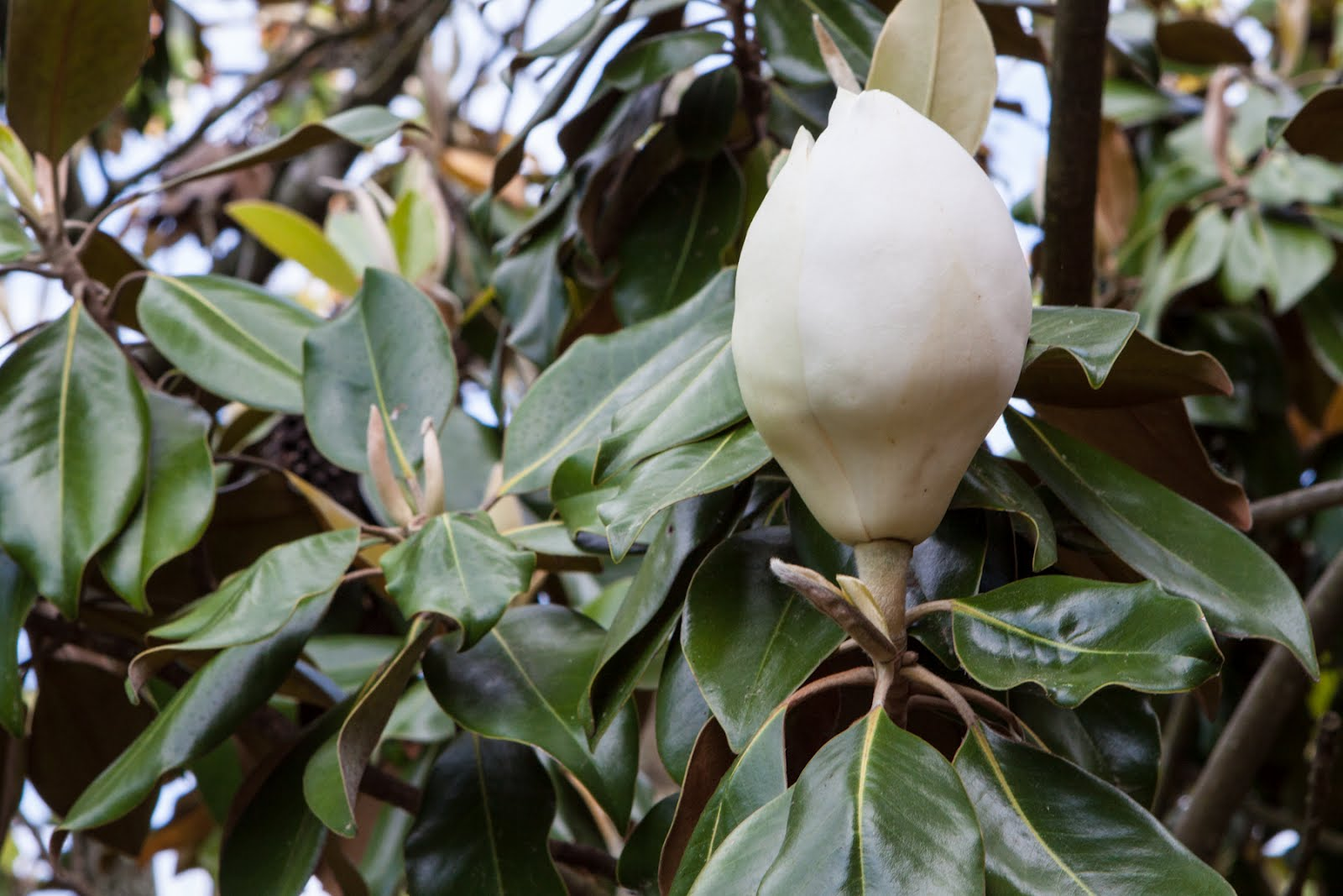 April 21 Magnolia Buds