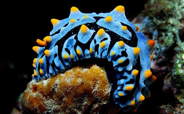 Nudibranquios 5